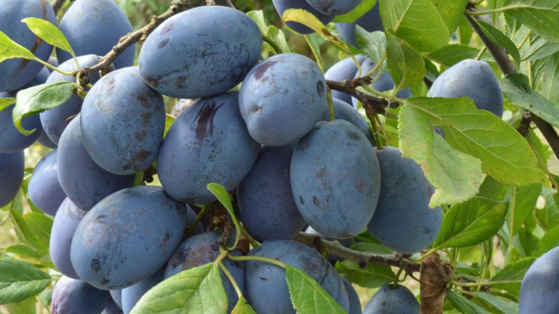 Linija voća